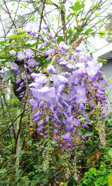 The wisteria bracts move gently in the breeze, releasing the scent of clean cotton