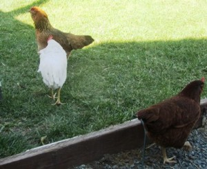 The ameraucana and a white Leghorn with a Rhode Island Red chicken at the bottom of the frame
