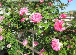 Climbing Handel flourishes in full sun and on a sturdy support