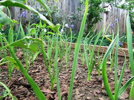 Use garlic for companion plant to deter pests from lettuce and cabbage