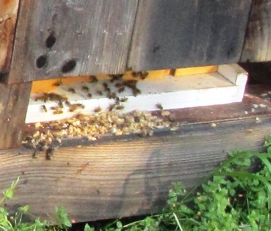 The drone (male bees) are vital for mating with the queen; after that, they are unnecessary and are elminated