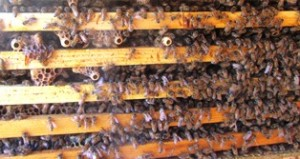 Hive frames with lots of bees