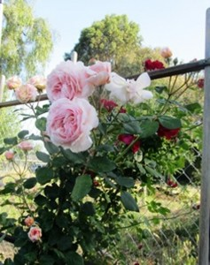 Shropshire Lad is a David Austen climber that looks splendid alone or with other roses