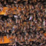 Healthy bees on a frame