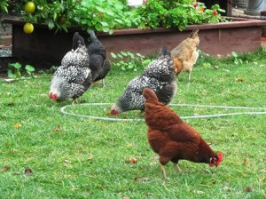 Chickens are part of the farmette landscape
