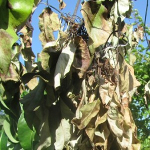 Fire blight ravages a pear tree