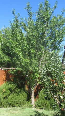 This backyard almond produces a bountiful crop
