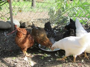 These six-month-old hens love treats like greens from the garden