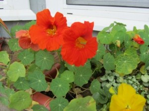Hummers are attracted by the intense hue of certain flowers such as nasturtiums
