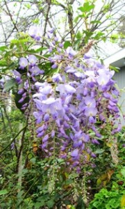 wisteria for St Patricks day sm email