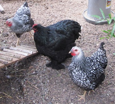 The silver-laced Wyandotte (black-and-white) hen in the foreground succumbed to the extreme heat during the night