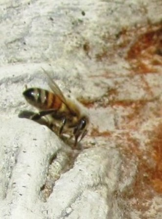 A honeybee alights on a fountain, searching for water