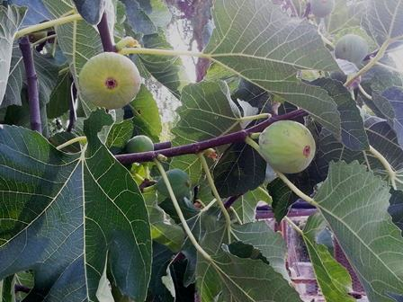 The White Genoa fig produces sweet dessert figs, twice a year