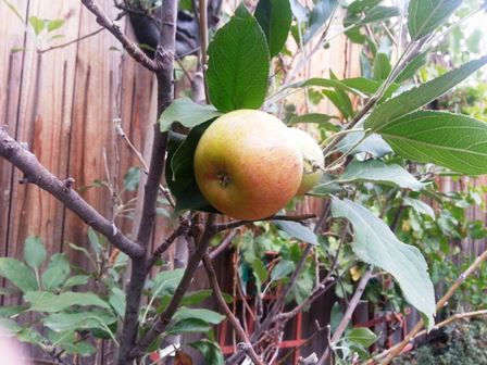 Cox orange pippin apples in a two-year-old tree