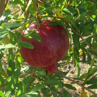 Ripe pomegranates have a leathery outer skin, membranes thicker than oranges, but sweet, juicy seeds inside