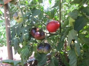 Blue tomatoes are an heirloom variety and among other old favorites you'll find at the farmers' markets
