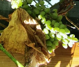After the grape harvest, the leaves change from green to gold or brown and become dry