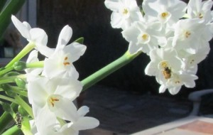 The bees are drawn to the sweet scent of narcissus that have naturalized in the yard