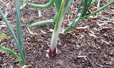 Plant red, yellow, or white onions in the fall for spring harvesting