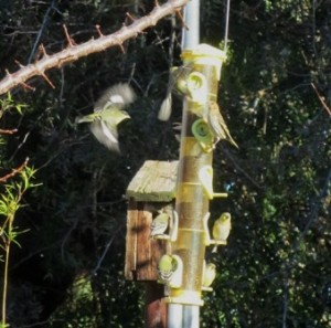 There's always plenty of action at the feeders when the finches discover the Nyjer seed