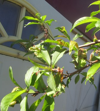 Peach leaf curl causes deformed leaf shape, blisters, and a reddish coloring in affected areas