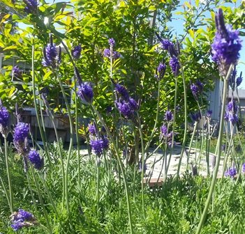 The deep bluish purple blooms of the fernleaf lavender