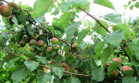 Crops are abundant when bees are in the garden to pollinate fruit trees like this apricot