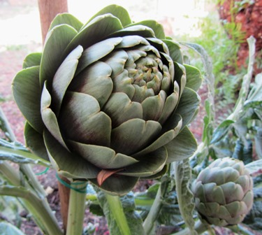 artichokes are lovely plants with gray-green foliage but need a lot of space