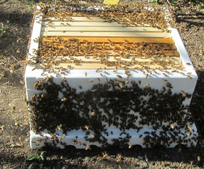 Honeybees surround a prepared hive box after they've swarmed