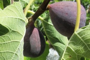 The dark purplish color is characteristic of the brown turkey fig