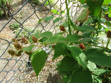 Unripe blackberries will turn dark purplish-black when ripe
