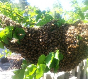 April 13, 2016 bee swarm on Henny Penny Farmette