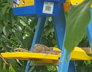 The ladder is a tall one for picking cherries, but it works as a platform for a nest constructed by a pair of Mourning Doves