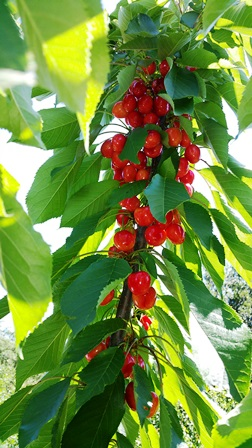 Ripe cherries on the Bing Tree