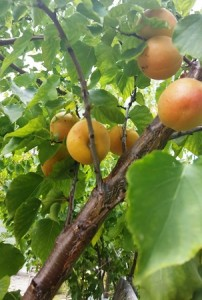 Ripe apricots can hang on the tree only so long before they drop