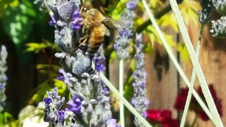 Honeybees love lavender
