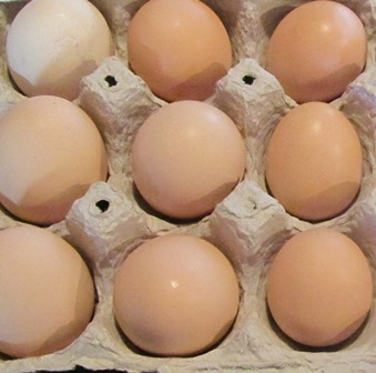 The Black Sex Link hens lay brown eggs