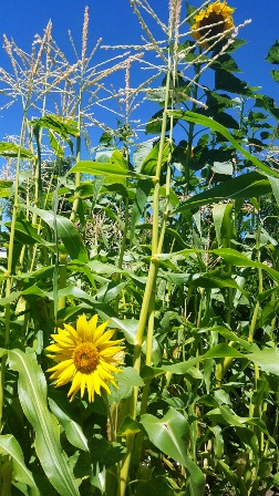 sunflowers planted at the end of the corn rows