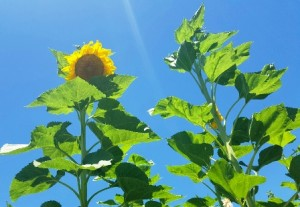 This mammoth sunflower towers towers at least four feet higher than the corn