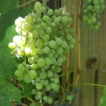 Our grapes are Thompson Seedless and Merlot
