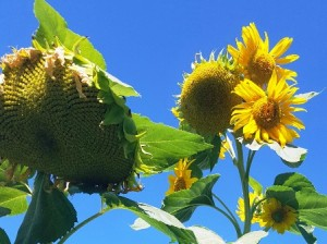 These sunflowers stand about 12 feet tall and produce several heads