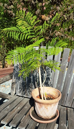 These jacaranda trees were tiny when shipped to us but over the last month have doubled in height