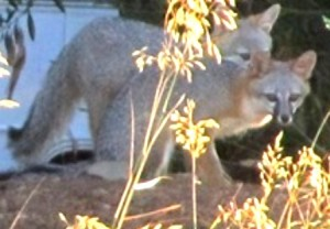 Hunting for food? Water? What brought these foxes into our neighborhood?