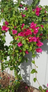 Always pretty over an archway or against a wall, bougainvillea is  a garden standout