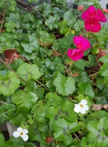 Pink geraniums are Interplanted with white bacopa in the kitchen window box