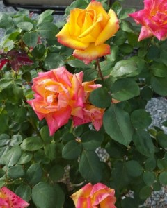 This red-gold polyantha rose will dazzle the eye in any landscape