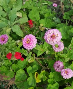 Zinnias are old garden favorites spanning generations of family gardens