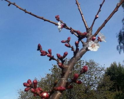 Before leafing out, swollen red buds open to a mass of pale white-pink color