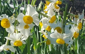 Masses of blooming daffodils provide a focus and cheery greeting in a bleak winter garden