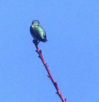 A hummer's iridescent feathers shimmer as it perches in sunlight at the end of an apricot tree branch